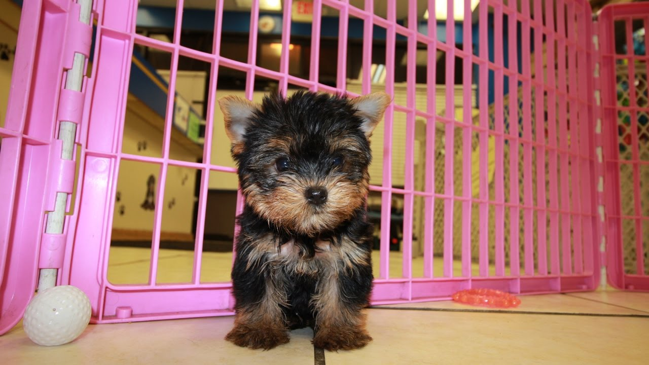 Teacup Yorkie Puppies For Sale Georgia Local Breeders Youtube