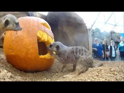 Our Meerkats Love Jack-o'-Lanterns