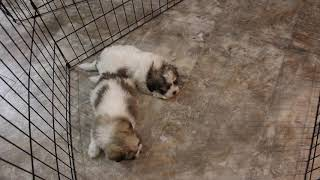 Coton Puppies For Sale - 5/19/20