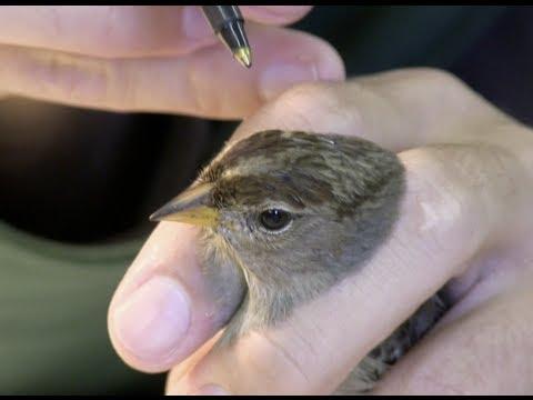 San Francisco Bay Bird Observatory - Passive Banding Passerines