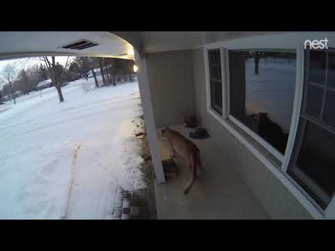 Surveillance Footage Captures Cougar Peeking Through a Window of a Brookfield Family's Home