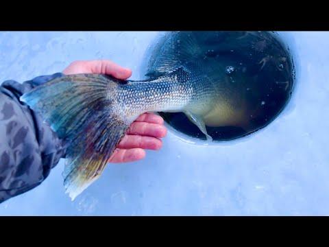 Ice Fishing For BIG Walleye (Sketchy Ice)