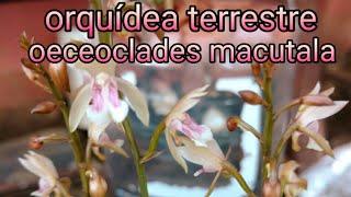 Cultivo de orquídea, (terrestre) oeceoclades maculata