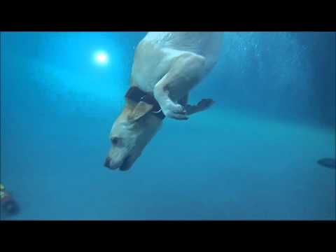 Labrador Retriever Keeper twisting down diving underwater in swimming pool for dog toy toypedo
