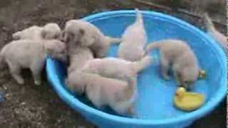 Щенки, пять недель от роду..   puppies, 5 week old golden retriever puppies really