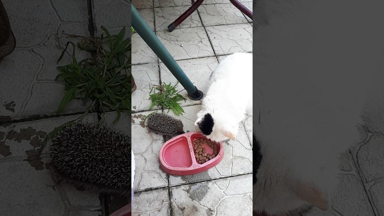 Редкое видео! Ёжик прогнал кошку и ест из ее миски!