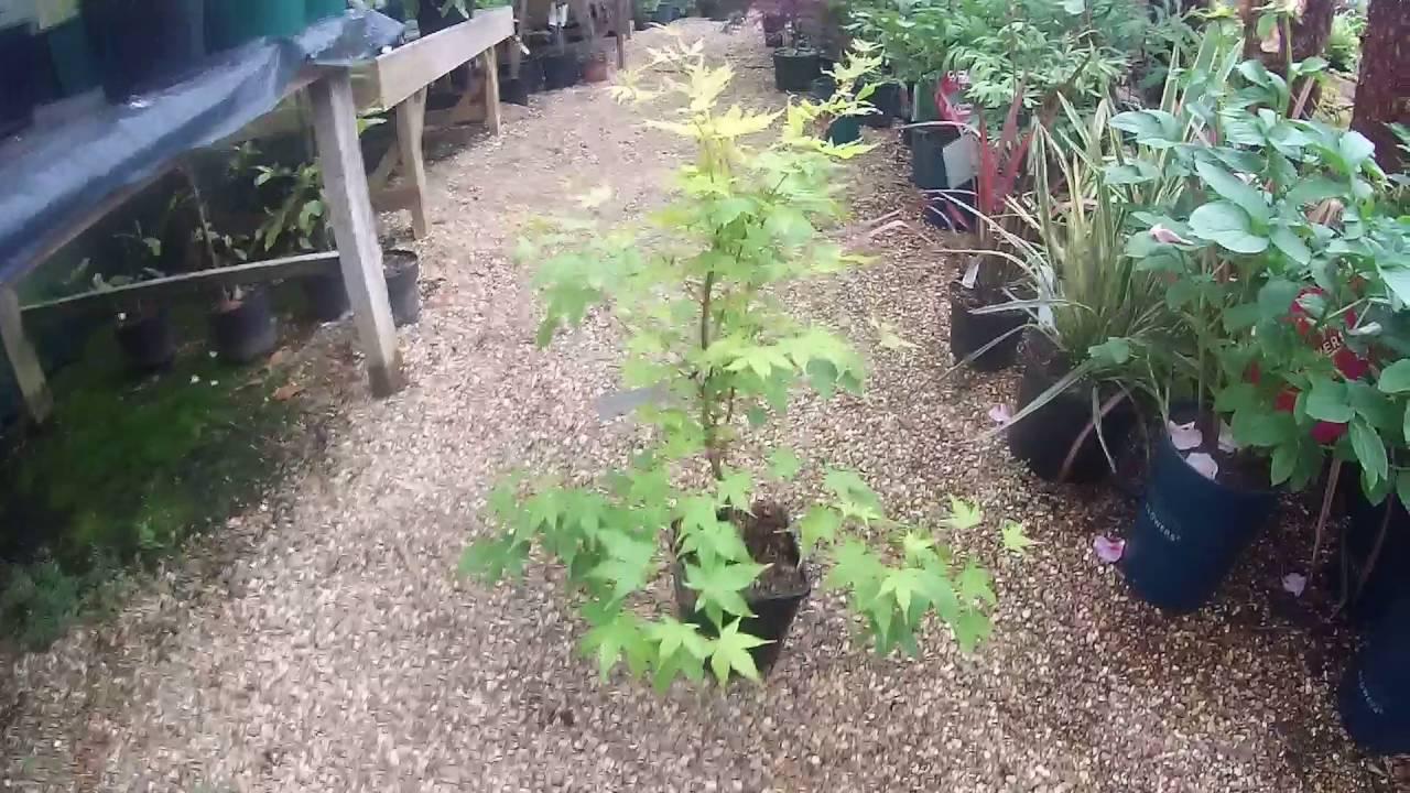 Acer Palmatum Sango Kaku 3l Pot At Plant Nursery In West Sus Uk