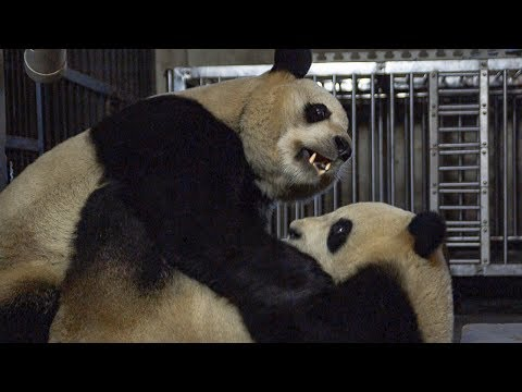 download Giant Pandas' Mating Attempt | BBC Earth