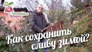 видео Защита деревьев от заморозков и грызунов » Садоводу, дачнику, огороднику.