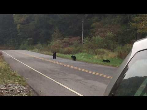 Pack of Black Bears in Pennsylvania - Amazing rare footage!