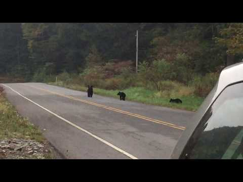 Pack of Black Bears in Pennsylvania - Amazing rare footage!