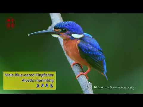 Male Blue-eared Kingfisher (Alcedo Meninting 蓝耳翠鸟)