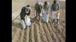 Intensive Wheat Management for Afghanistan  IPM Program FAO MAIL and Norwegian Embassy