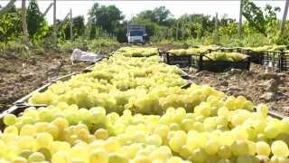 Дагестан Сергокала СПК Г.Далгат виноград