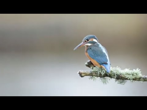 Kingfisher UK - Footage Of Kingfishers In Yorkshire