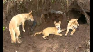 The Australian Digger - The Dingo.wmv