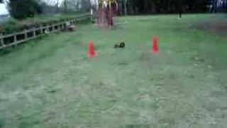Miniature Dachshund Obedience Training