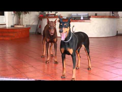 Doberman Puppies 2015  –  Ultimate Cute Puppies Compilation 2015 – Funny Dog Videos Compilation