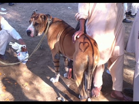 Bully Dog For Sale >> Huge Bully Kutta Pakistan - YouTube