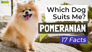 Is a Pomeranian the Right Dog Breed for Me? 17 Facts About Pomeranian Dogs!