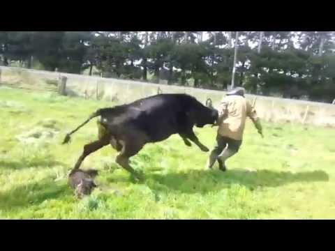 Une vache d fend son petit face l 39 leveur qui tente de - Image de vache drole ...