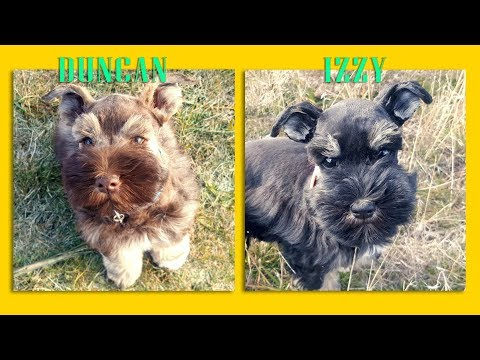 2 ADORABLE  Miniature Schnauzers in Training - For Sale - Izzy & Duncan