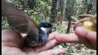 Pikat Burung kutilang batik  di hutan yang sudah sulit di jumpai