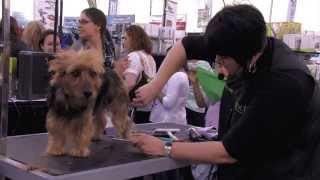 Michell Evans: Handstripping An Australian Terrier