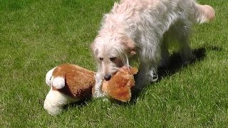 Ally The Goldendoodle Grabs Akita. Dog Obedience With Limits. Relaxation Time. B Set72 2015 Rep1
