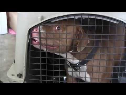 Dog Aggressive 'RED NOSE PITBULL' out of control ( RED ZONE)