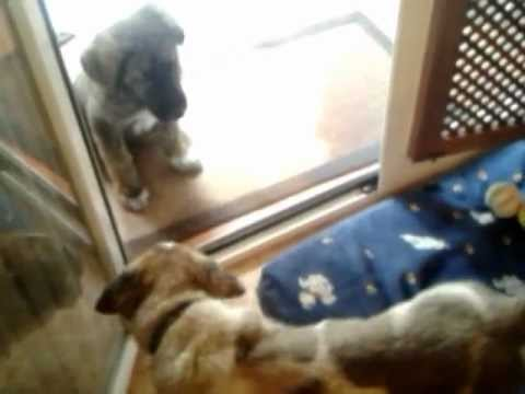 MASTIN ESPAÑOL/Spanish mastiffs Delto y Mora.3