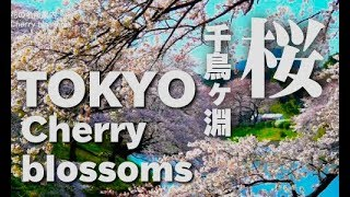 TOKYO JAPAN Cherry Blossoms in Tokyo 東京の千鳥ヶ淵の桜(sakura) 日本の桜 東京観光 ディスカバーニッポン 花見 thumbnail