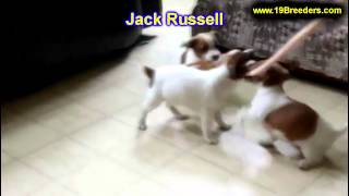 Jack Russell, Puppies, For, Sale, In, Allegheny, Pennsylvania, Pa, Bucks, Chester, County, Berks, De