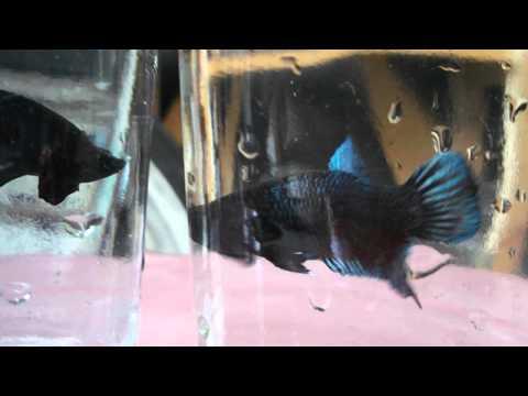 ปลากัดเก่งลูกร้อยมาเลย์ เบอร์ M 63 สนใจโทร.090-7408545