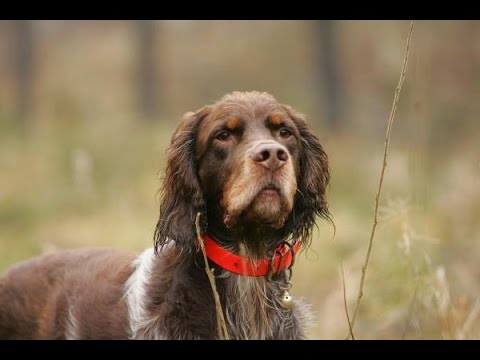 Picardy Spaniel (Epagneul Picard) - Dog Breed