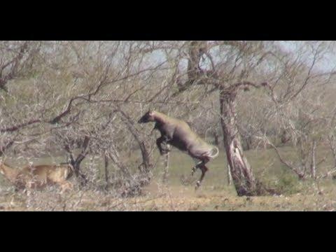 Nilgai Hunting in South Texas thumbnail