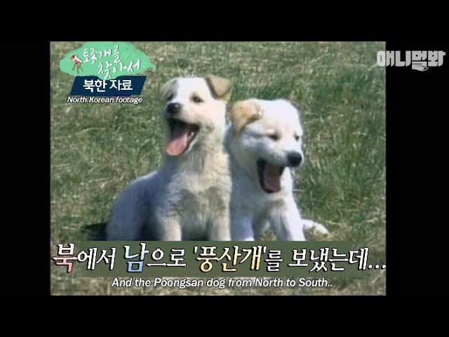 have-you-heard-of-the-native-dog-that-north-korea-gifted-to-south-korea