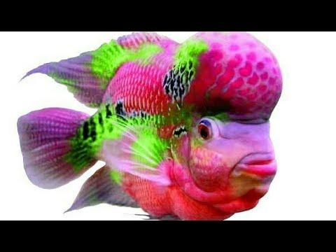 Ikan Louhan Termahal