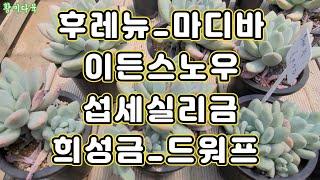다육이_김포 풍무역 에레베이트1번출구 사막의 장미 다육…