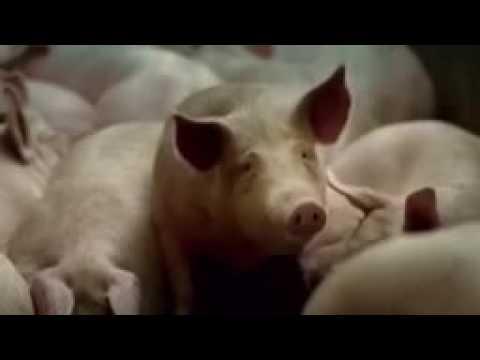 Cadbury made pig fat