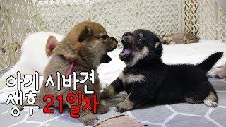 새끼 강아지 생후 21일차, 아기 시바견의 모습