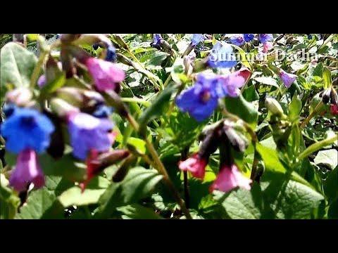 УНИКАЛЬНОЕ ЦЕЛЕБНОЕ Растение Медуница (пульмонария)