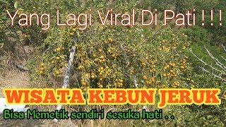 Download Video VIRAL di Pati !!! Wisata Kebun Jeruk ! Makan jeruk sepuasnya gratisssss !!!!! MP3 3GP MP4