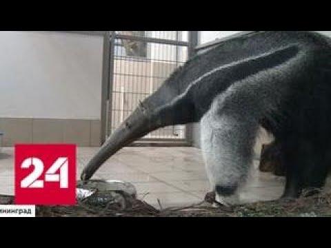 В зоопарке Калининграда поселился гигантский муравьед Россия 24