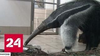 В зоопарке Калининграда поселился гигантский муравьед - Россия 24