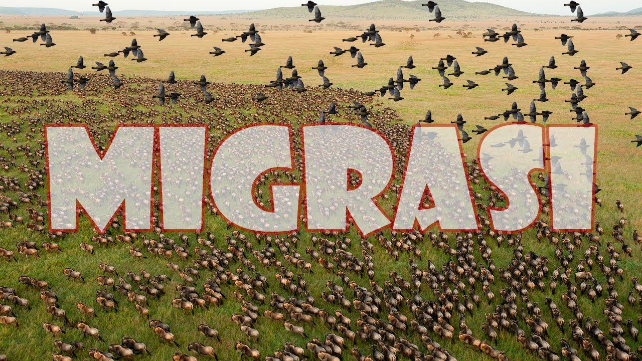 Migrasi Hewan dengan Jarak Terjauh dan Koloni Terbanyak