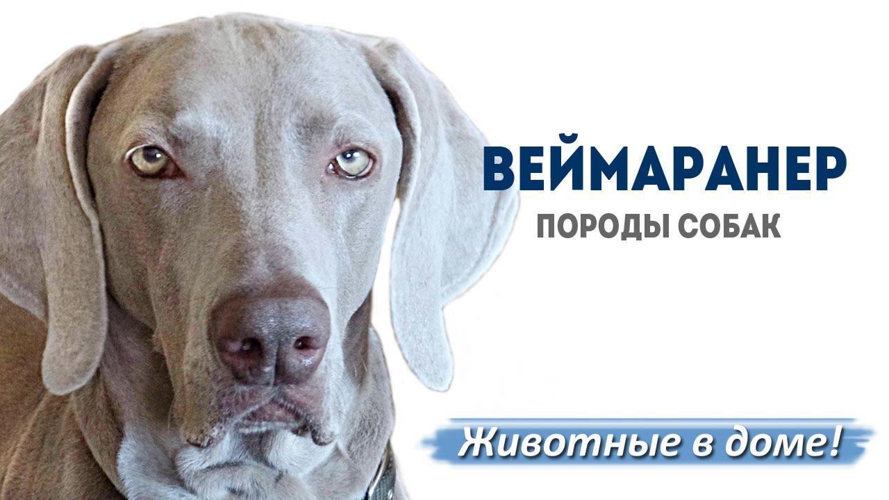порода собак вайнерман фото