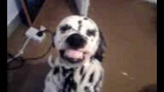 Best Dalmatian Smile