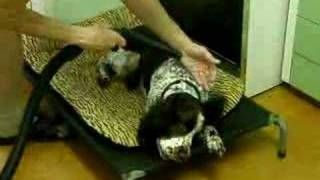 English Springer Spaniel Vacuumed