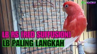 Love bird Merah, Paling Langkah di Dunia ,RED SUFFUSION(RS)